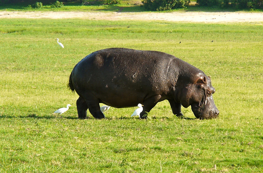 Hippopotame, Chobe, Botswana