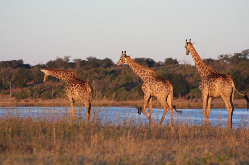 Chobe River, girafes