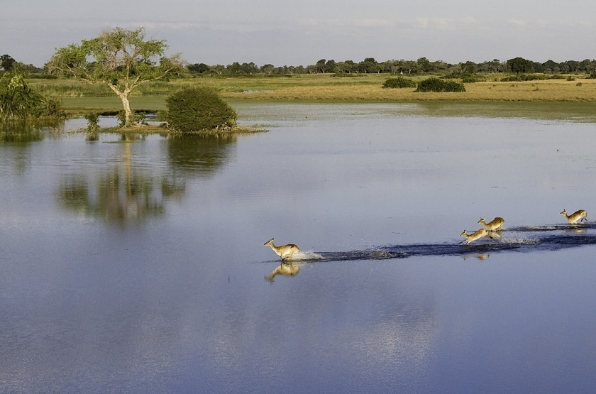 Lechwes dans le delta de l'Okavango, Botswana