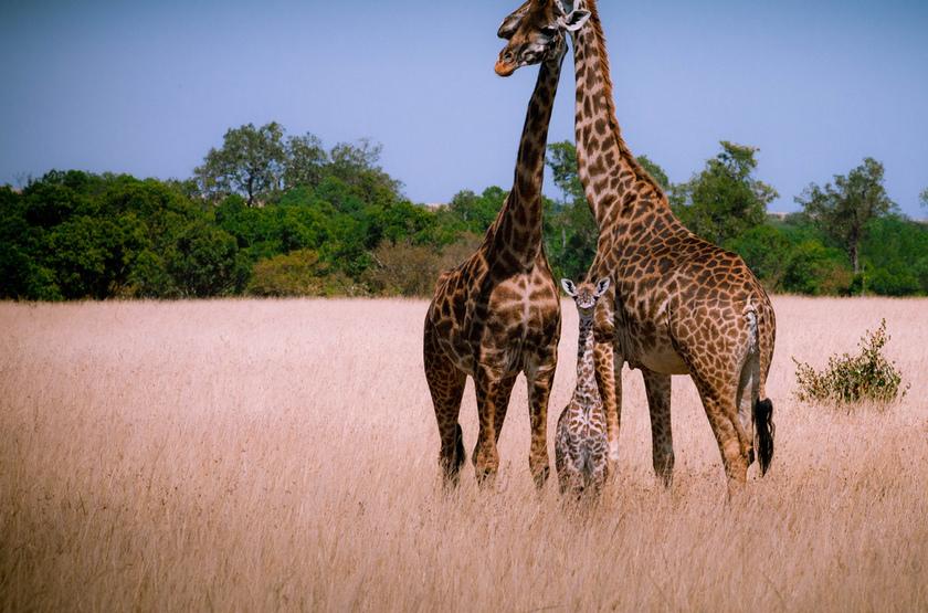 Girafes dans le parc Hwange, Zimbabwe