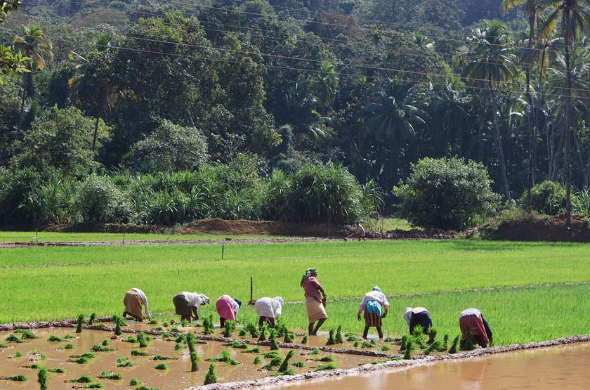 Récolte du riz, Goa, Inde