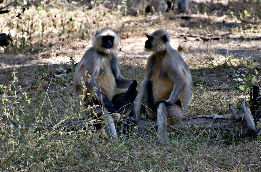 Macaques dans le parc de Bandavghar, Inde