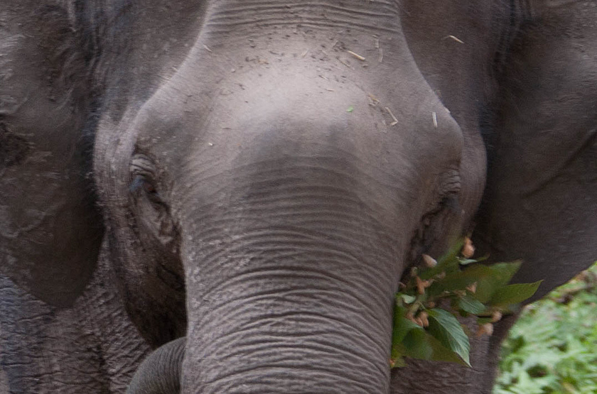 Eléphant de Bandavghar, Inde