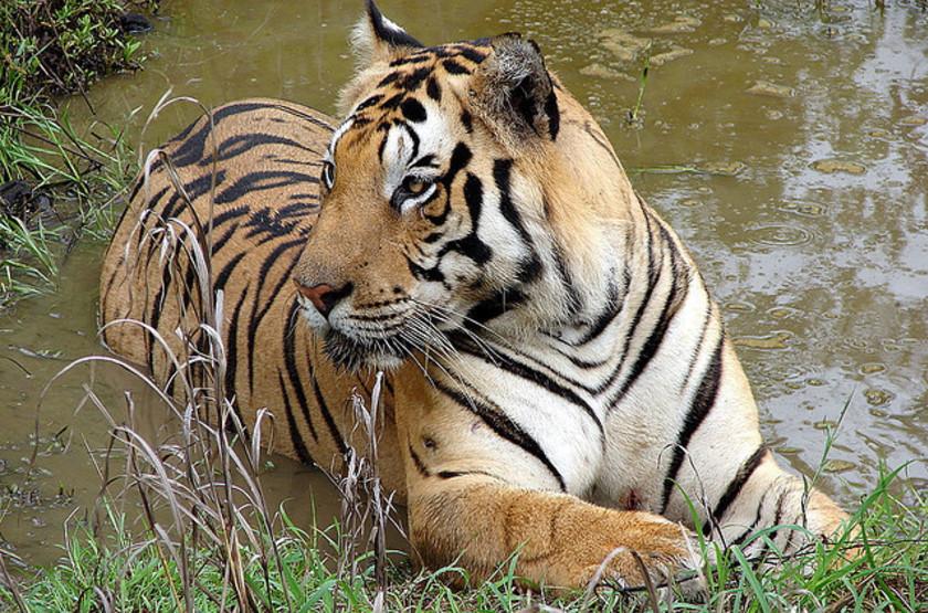 Safari tigre à Bandavghar, Inde