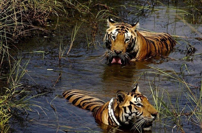 Tigres dans le parc de Nagarhole, Inde