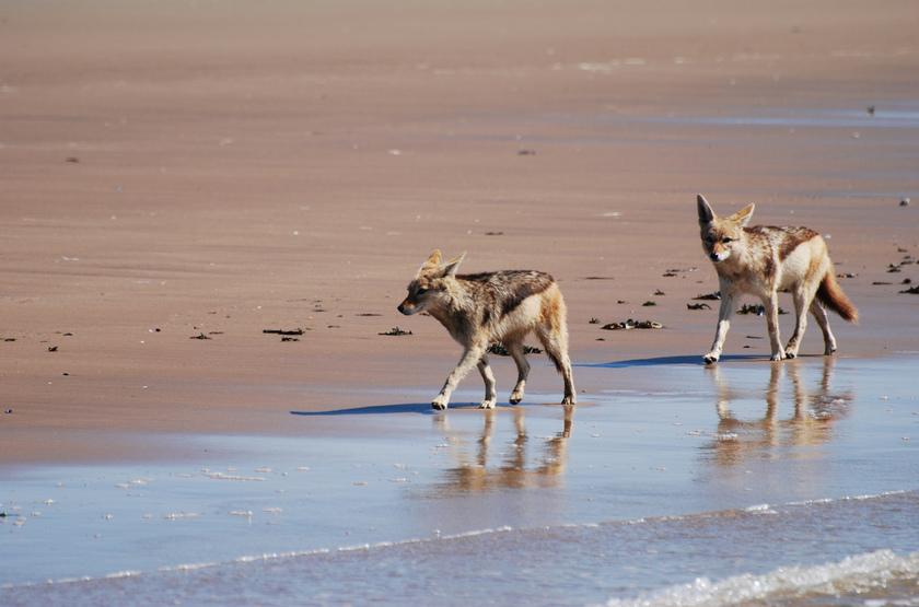 Sur les plages de Swakopmund, Namibie, chacals