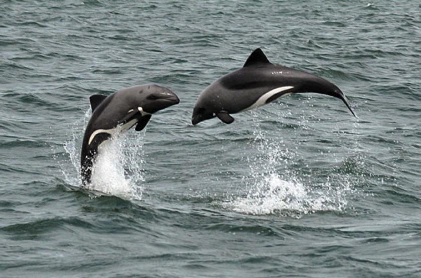 Dauphins à Walvis Bay, Namibie