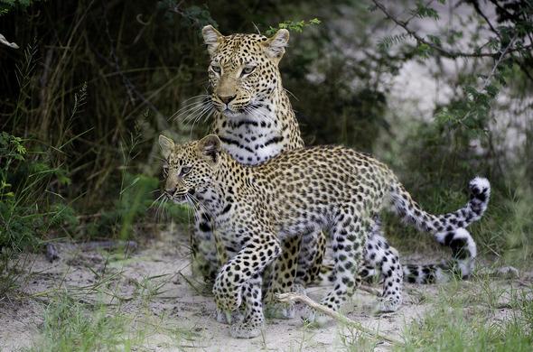 Les camps intimes Wilderness Safaris dans l'Okavango, voyage Afrique