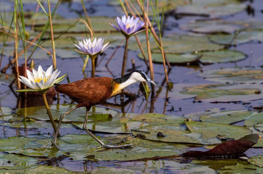 Jacana, delta de l'Okavango, Botswana