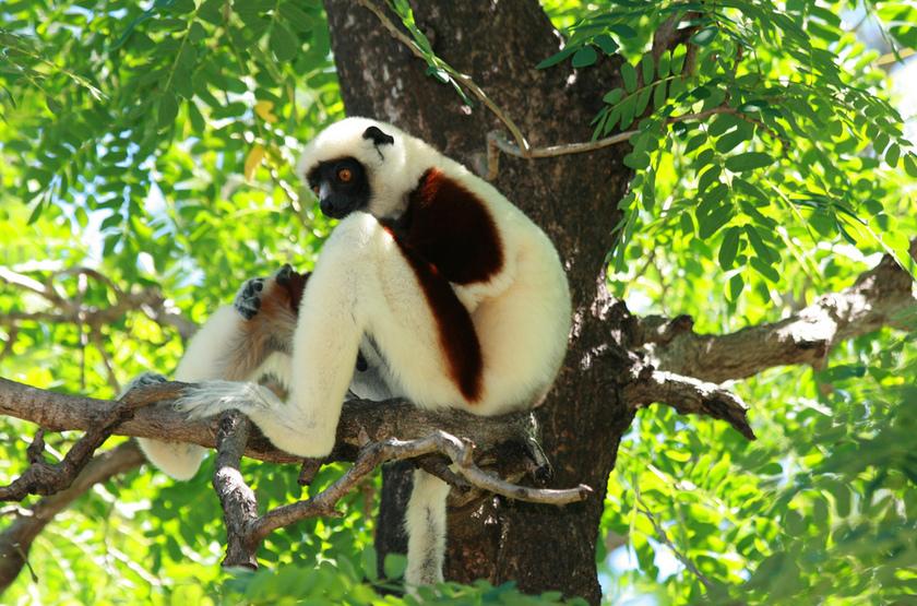 Lemurien Coquerel, Madagascar