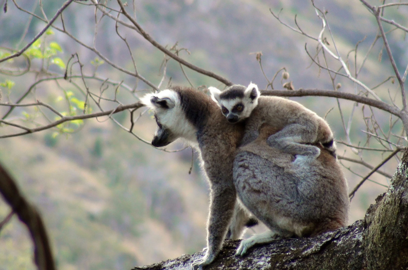 Lemur catta valley de tsaranaro   sud slideshow