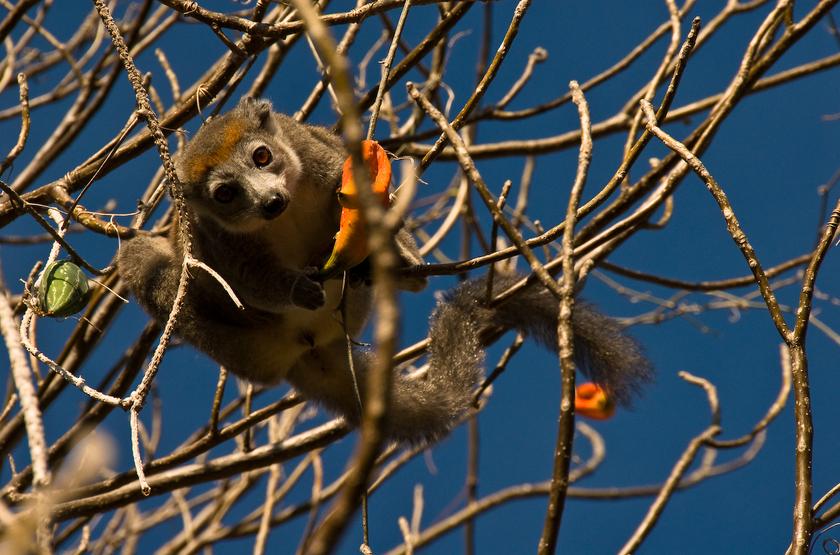 Lémurien noir, Madagascar