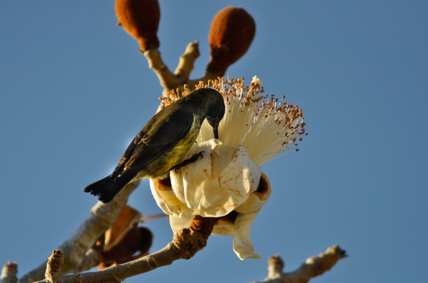 Baobab fleur et oiseau slideshow