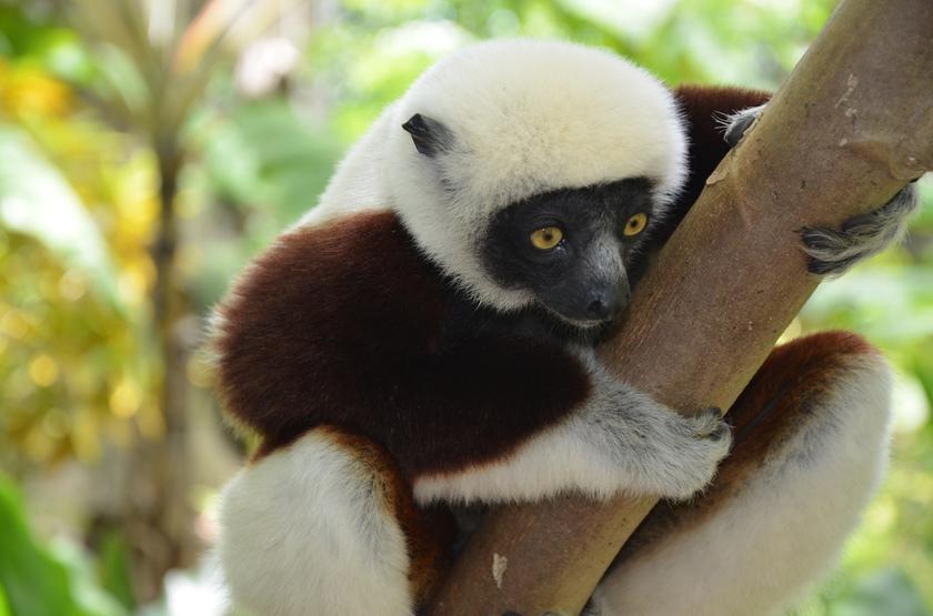 Lemur coqurel sifaka slideshow