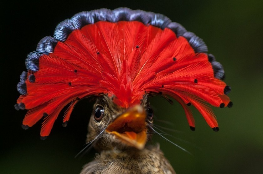 Royal Flycatcher, Amazonie