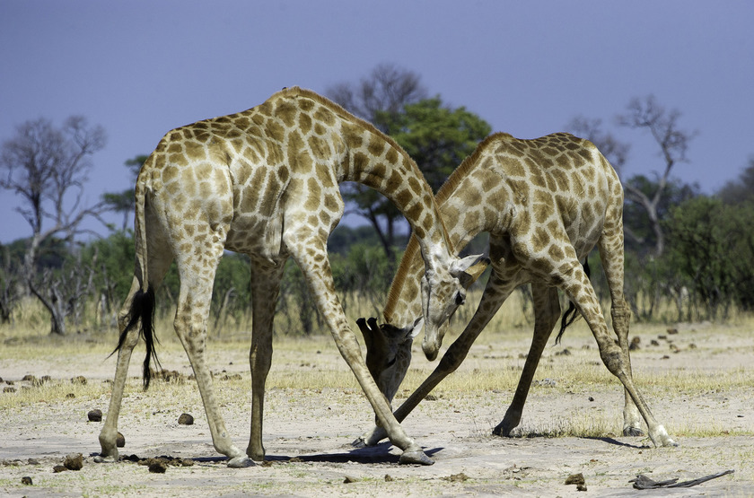 Safari à Ruckomechi Camp, Mana Pools, Zimbabwe