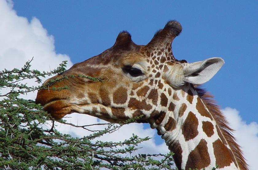 Girafes réticulée, Samburu, Kenya