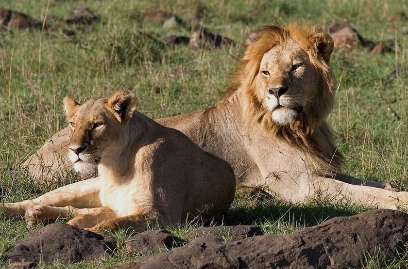 Couple de lions, Masai Mara, Kenya