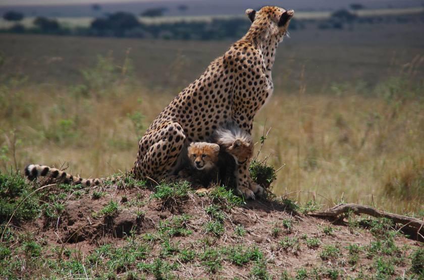Famille de guépard, Masai Mara, Kenya
