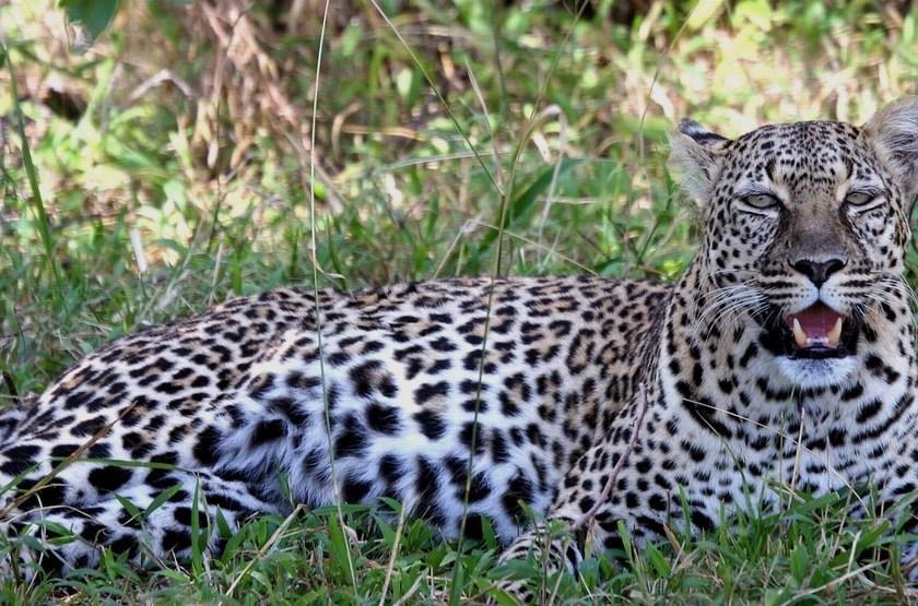 Léopard dans le Masai Mara, Kenya
