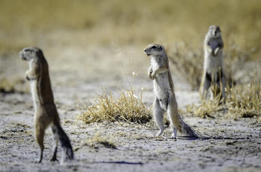 Suricates dans le Kalahari, Botswana