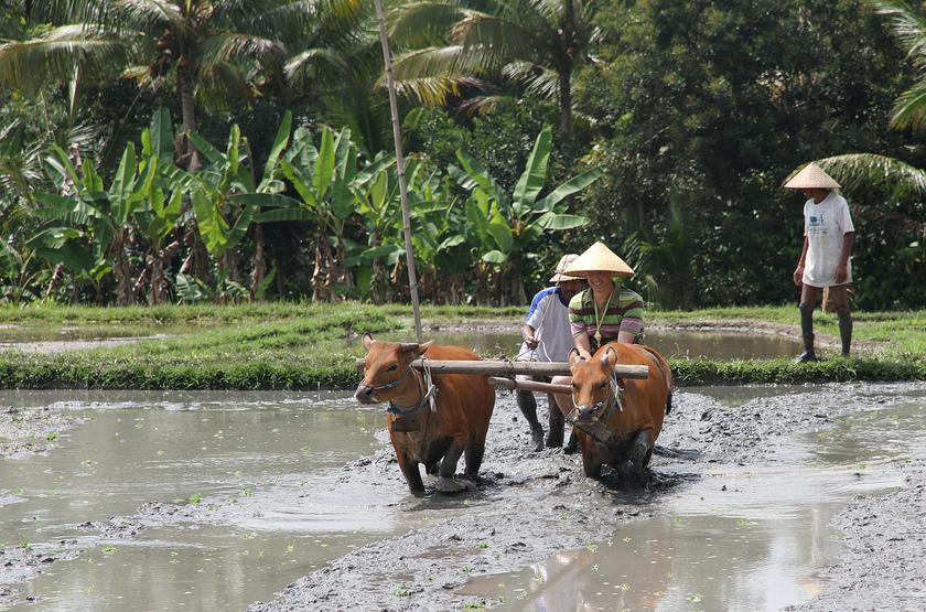 Dans les rizières, Bali, Indonésie