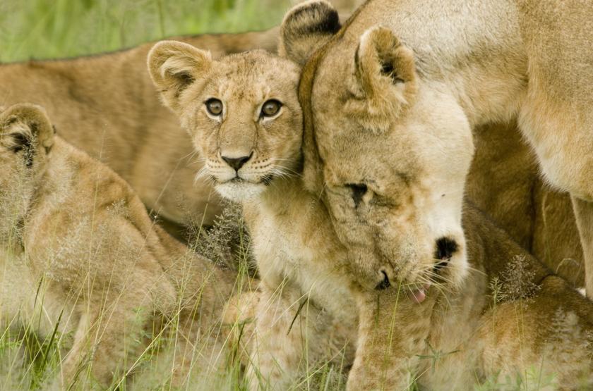 Famille de lions, Serengeti, Tanzanie