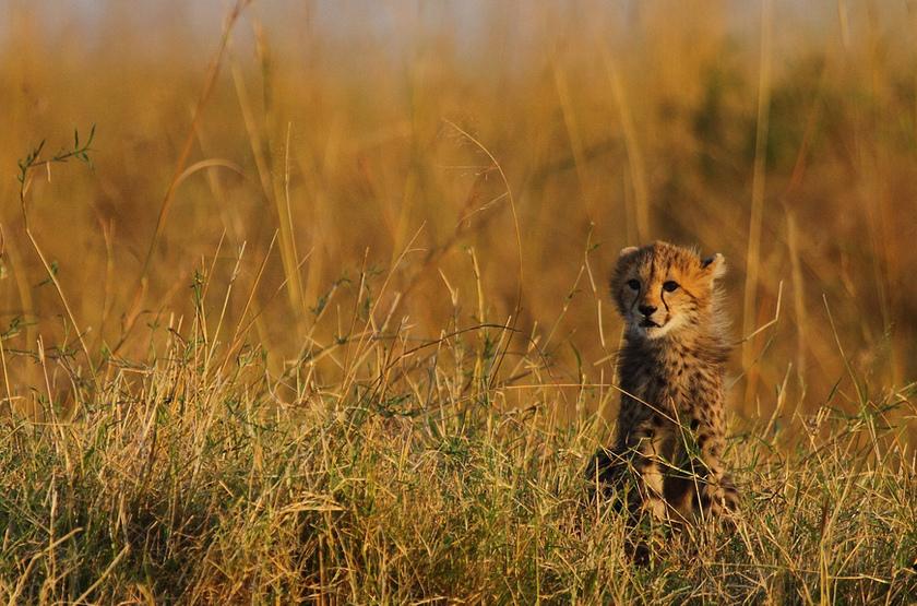 Jeune guépard dans le Serengeti, Tanzanie