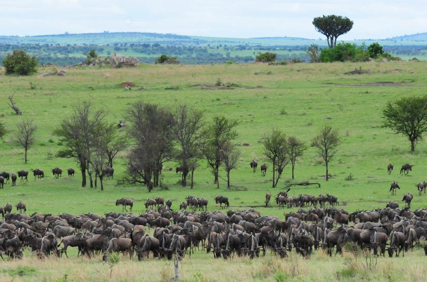 Gnous dans le Serengeti, Tanzanie