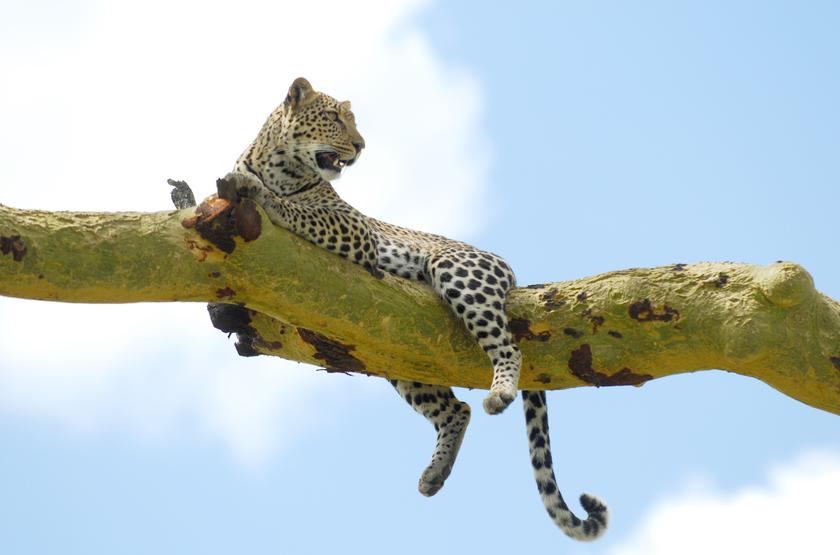 Léopard dans le serengeti, Tanzanie