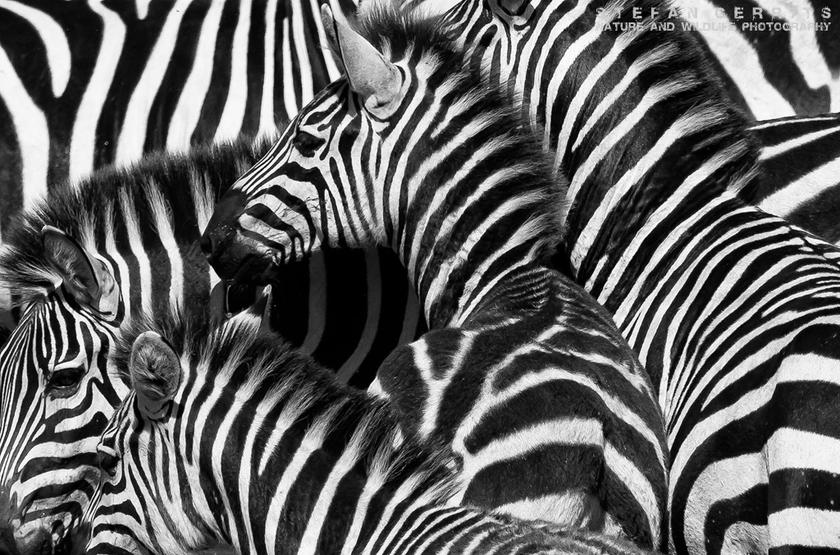 Zèbres dans le Masai Mara, Kenya