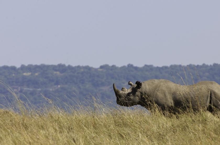 Rhinocèros dans le Masai Mara, Kenya