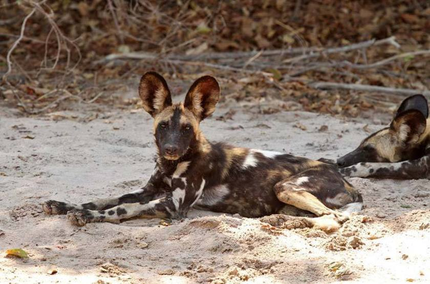 Wild Dog, Lower Zambezi, Zambie