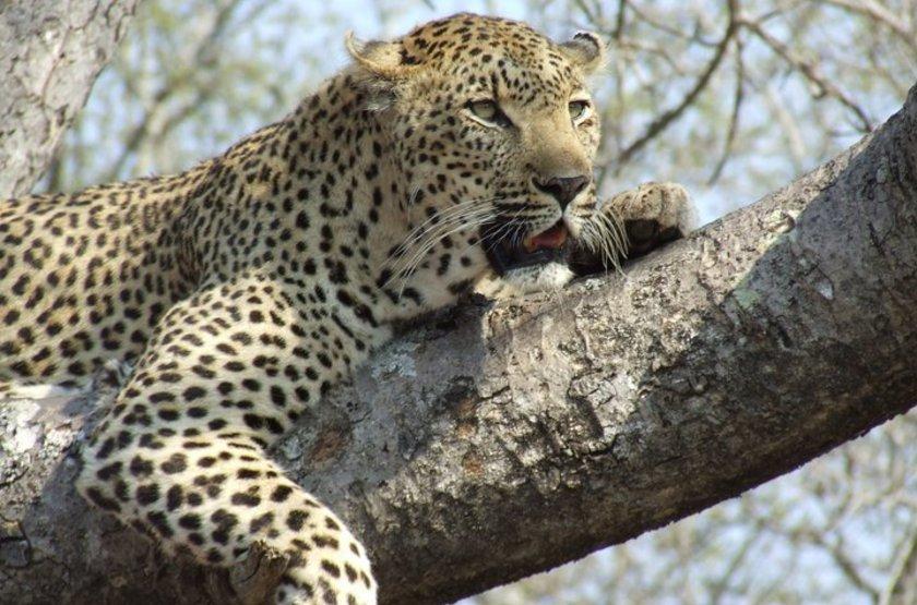 Léopard dans le Kafue, Zambie