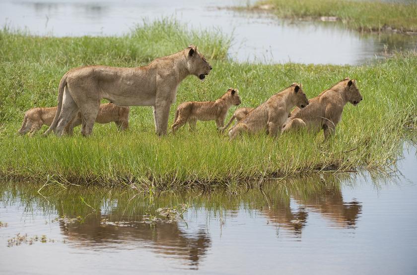 Lionne et ses petits, delta de l'Okavango, Botswana