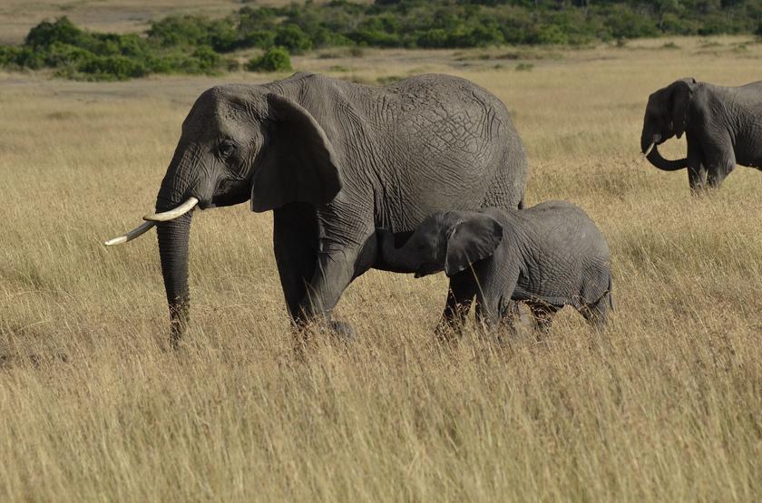 Kenya, Masai Mara, éléphants