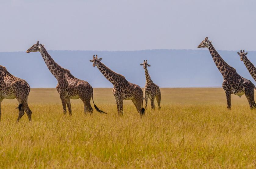 Girafes, Masai Mara, Kenya