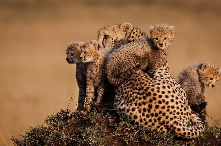 Masai Mara, Kenya, famille de guépards