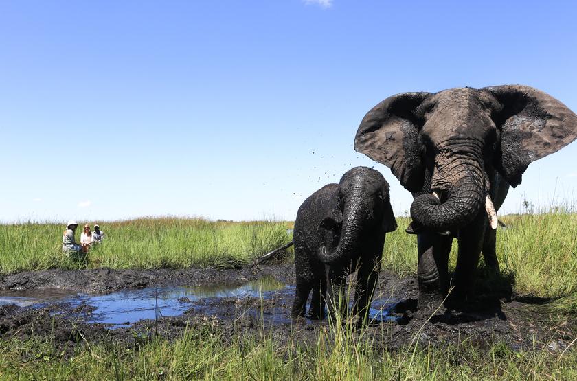Safari à Abu Camp, delta de l'Okavango, Botswana