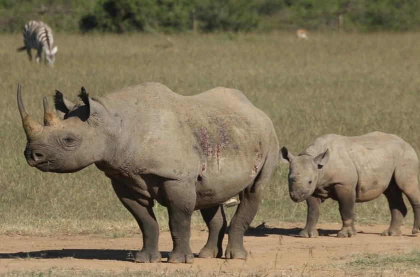 Segera Laikipia, Kenya, rhinos