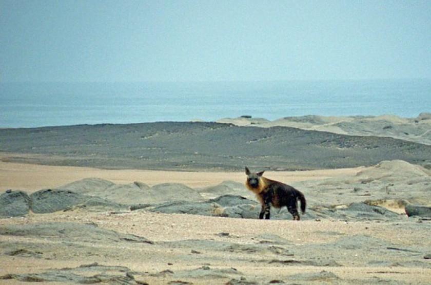 Hyène de Skeleton COast, Namibie