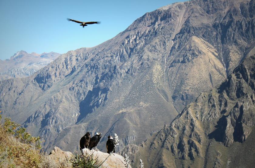 Condors Canyon de colca, Pérou