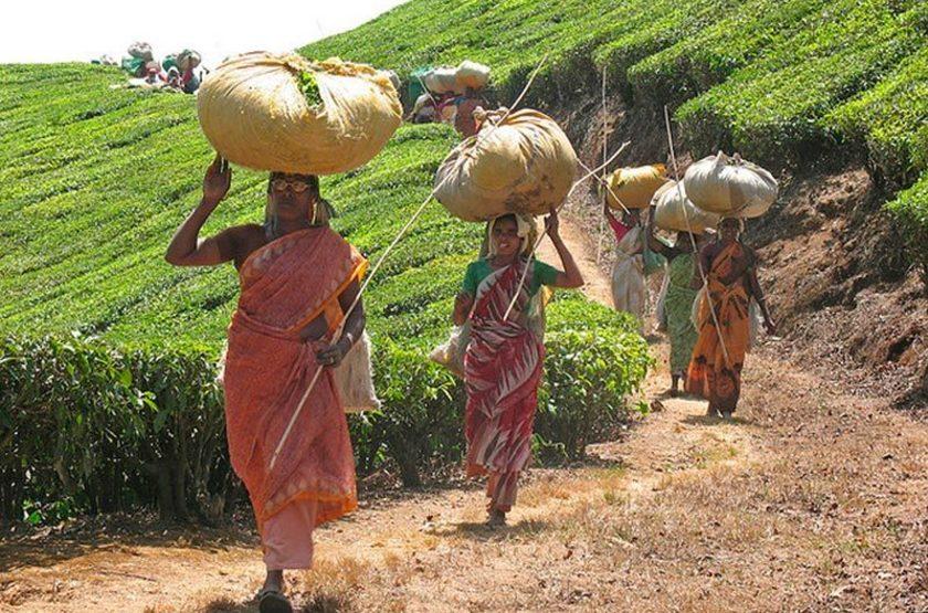 Kerala, Munnar, Inde du Sud