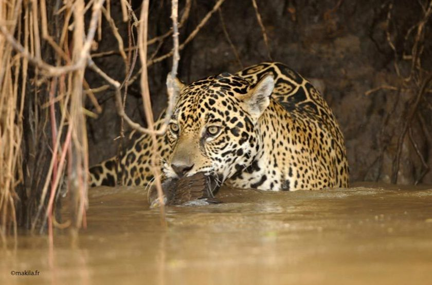 Jaguar pantanal 9 slideshow