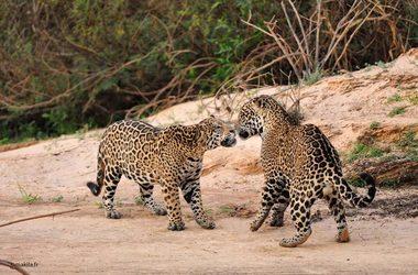 Safari jaguar dans le Pantanal et plage à Maceio, voyage Amériques