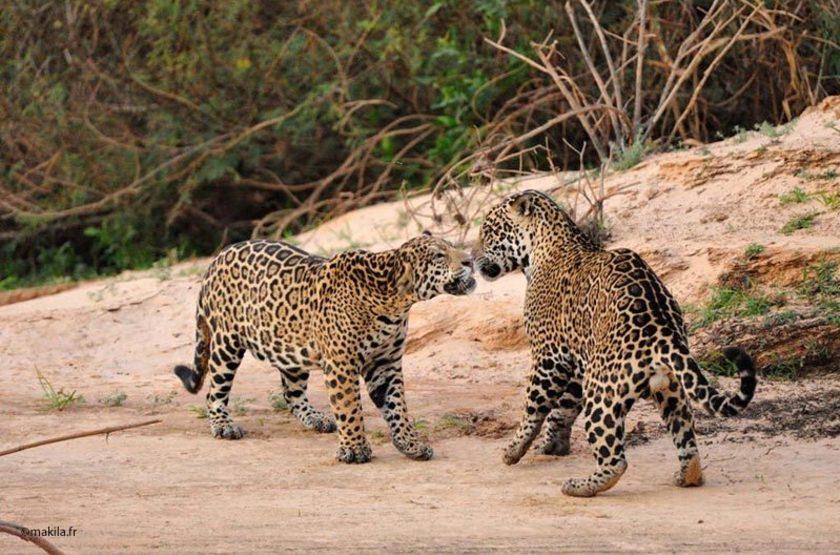 Jaguars pantanal 37 slideshow