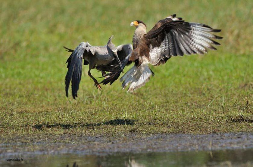 rencontre avec un caracara et un ibis plomb, Pantanal, Brésil