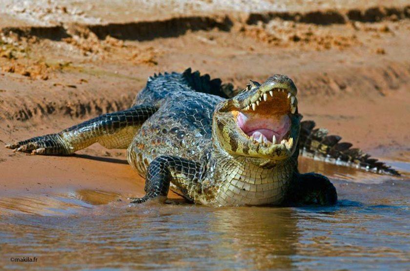 Caiman, Pantanal, Brésil