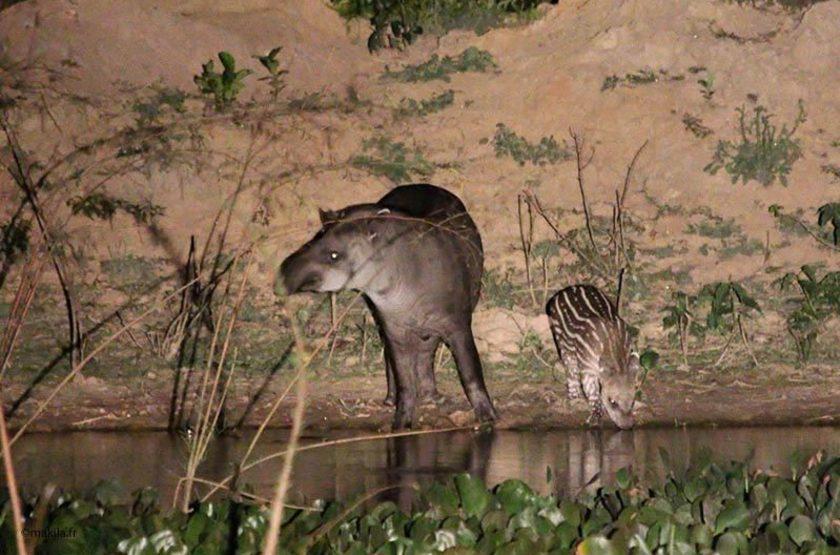 Tapir, Pantanal