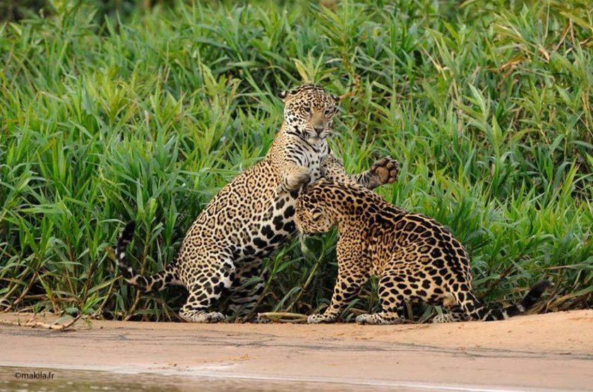Couple de jaguards, Pantanal, Brésil